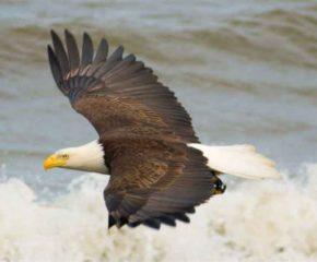 Bald Eagle – Kenai Peninsula